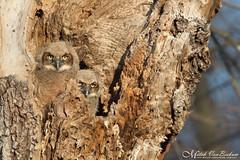 Great Horned Owlets (Mitch Vanbeekum Photography) Tags: greathornedowl owlet owlets great horned bubovirginianus nj newjersey mitchvanbeekum mitchvanbeekumcom canon14teleconvertermkiii canonef500mmf4lisiiusm canoneos1dx wildlife wild nest