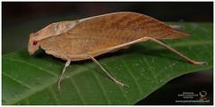 Katydid / Grillo de Monte (Panama Birds & Wildlife Photos) Tags: katydid grillo grillos bushcricket grillodemonte tettigoniidae macro macrophotography