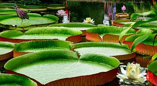 Phot.Beijing.Waterlily.Beihai.Park.01.080803.1125.jpg