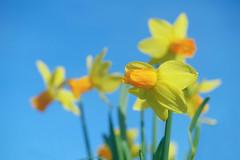 Spring Garden (pallab seth) Tags: macro dof spring flower barking park england london signofspring bokeh nature daffodil garden springgarden barkingpark yellow blue 2017 samsung60mmf28macroedoisssalens samsungnx1