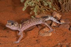 Barking Gecko (R. Francis) Tags: aridrecovery aridrecoveryreserve ryanfrancis ryanfrancisphotography olympicdam roxbydowns southaustralia sa barkinggecko underwoodisaurusmilii thicktailedgecko