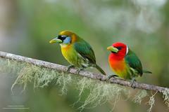 Red-headed Barbet (www.NeotropicPhotoTours.com) Tags: sanjose costarica cr redheadedbarbet eubuccobourcierii pair couple colorimage tropicalbirds nobody