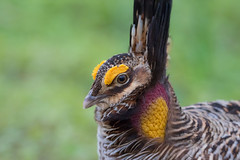 Highbrow (gseloff) Tags: atwatersprairiechicken breedingplumage booming bird endangeredspecies johnsonspacecenter houston texas gseloff