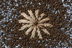 Poppy seed head (Arkle1) Tags: macromondays memberschoiceseeds