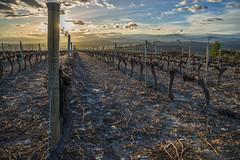 Sleeping vineyard (alexander elzinga) Tags: vineyard
