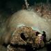 Massive Mcneilli - Coscinaraea mcneilli coral