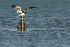 Gull standing on Pelican's head (megpuente (sporadic temporarily)) Tags: brownpelicanpelecanusoccidentalis laughinggullleucophaeusatricilla funny birds ocean gulfofmexico nature amusing avian behavior megpuente florida birdbehavior
