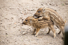 Früh übt sich... (Gret B.) Tags: frischling schwein wildschwein tierkinder tierkind niedlich süs schweinchen ferkel animal babyanimal cute pig streifen gestreift