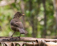 Clay-colored Thrush (J.B. Churchill) Tags: birds costarica heredia hotelbougainvillea places taxonomy