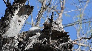 Great Horned Owls Video