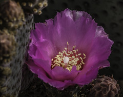 Beaver Tail Cactus Bloom Surrounded By Buds And Pads (Bill Gracey 15 Million Views) Tags: fleur flower flor beavertailcactus nature naturalbeauty offcameraflash lastoliteezbox softbox garden yongnuo trigger macrolens