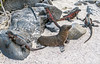 IMG_4105.CR2_G5 X_11NOV16_Seal Pup & Iguanas. Galapagos Islands, Ecuador SA