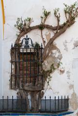 Ventana  con enredadera (Oscar F. Hevia) Tags: ventana enredadera arbol curioso reja window climbingplant tree curious grid andalucia españa sevilla spain andalucía