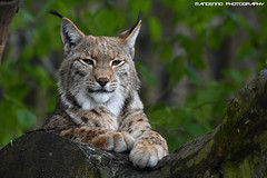 Eurasian lynx - Zoo Duisburg (Mandenno photography) Tags: dierenpark dierentuin dieren duitsland germany animal animals duisburg zooduisburg eurasian european luchs lynx