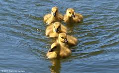 Cuteness On Parade (Kaptured by Kala) Tags: brantacanadensis canadagoose goslings geese goose babies babycanadageese richlandcommunitycollege garlandtexas spring downy fuzzy sunlight adorable