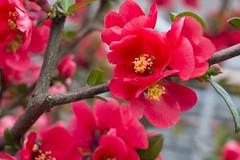 IMG_0355 (vargabandi) Tags: chaenomeles vargabandi garden red blossom
