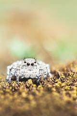 Saltique (Sehne.G - Photographie) Tags: saltique sauteuse araignée salticide macrophotography macrophotographie