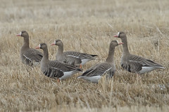 Greater white fronted geese (Peter Stahl Photography) Tags: greaterwhitefrontedgeese goose migration arctic tundra