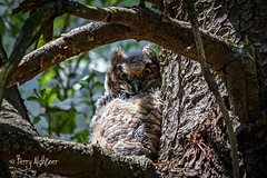 Branching Begins Great Horned Owl Chick [Explored!] (Terry Aldhizer) Tags: great horned owl chick baby young wild bird prey spring branching fledging terry aldhizer wwwterryaldhizercom