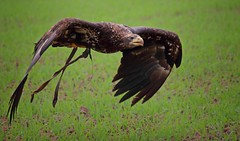Bald Eagle (Juvenile) (Paul A Wiles) Tags: bald eagle pwiles1968 dczphotography