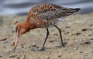 BLACKTAILED GODWIT....Look on large for more detail.