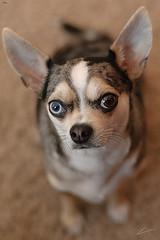 Dewey Charming Look (kunyiliu) Tags: 50mmf14 d200 dewey bluemerle chihuahua cuteeyes nikon sweeteyes