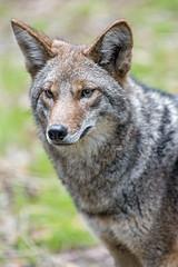 Portrait of a coyote (Tambako the Jaguar) Tags: portrait face attentive beautiful canid canine coyote dog jacksonvillezoo jacksonville zoo florida unitedstates america usa nikon d5