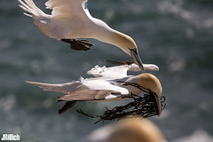 attempted robbery of nest material - Northern Gannet, Basstölpel, Morus bassanus @ Helgoland, Heligoland 2017 (Jan Rillich) Tags: helgoland heligoland northern sea northernsea nordsee insel düne sandstein jan rillich janrillich picture photo photography foto fotografie eos digital wildlife animal nature beautiful beauty sunny sun fauna flora free animalphotography image 2017 eastern spring küste nordseeküste sand dune april 5dmarkiii canon basstölpel morusbassanus northerngannet gannet alcatrazcomún morus bassanus attempted robbery nest material