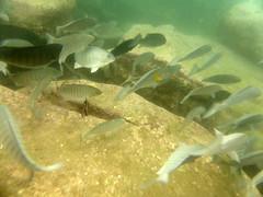 20170425-ANZAC B&B-98 (frannyfish) Tags: bold beautiful manly anzac ocean swim