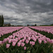 Just around the corner (www.petje-fotografie.nl) Tags: gelderland pannerden donkerewolken rose tulpenvelden wolken
