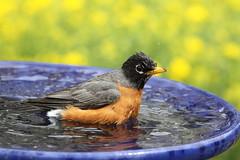 American robin (jlcummins - Washington State) Tags: home bird fauna yakimacounty washingtonstate canon tamronsp150600mmf563divcusd