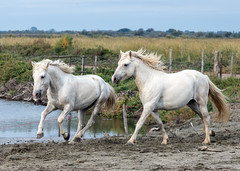 2016 Best Two Camargue Stallions (7) (maskirovka77) Tags: saintlaurentdaigouze languedocroussillonmidipyrén france languedocroussillonmidipyrénées fr stallion stallions createaway