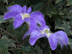 Violet Clematis (Roniyo888) Tags: violet purple clematis vlimber vine passion flower black background olympus omd em1