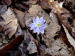 Hepatica (Picsnapper1212) Tags: hepatica flower wildflower spring plant nature caesarcreeknaturepreserve oregonia warrencounty ohio