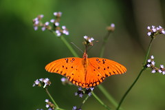 Gulf fritillary or passion butterfly (Agraulis vanillae) (im2fast4u2c) Tags: gulf fritillary or passion butterfly agraulis vanillae