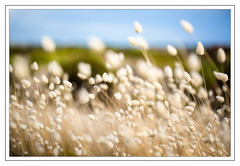 Blowin' in the wind. (Chas56) Tags: flaura grass grasslands plants windy blowing canon canon5dmkiii softness softfocus focus dof shallowfocus depthoffield abstract natural landscape color colour