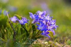 Spring Flowers bathing in a Sunreflex (Chionodoxa) - EXPLORED (Amberinsea Photography) Tags: spring2017 spring springflowers sunreflex earlyspring sunshine sweden vår printemps amberinseaphotography chionodoxa gloryofthesnow inexplore explored explore