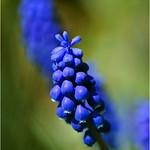 Grape Hyacinth thumbnail