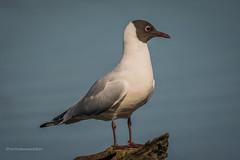 Black Headed Gull (@nicholasaseddon) Tags: uk wildlife spring leightonmoss bird
