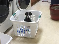 Dooley in the Basket (marylea) Tags: dooley parsonrussellterrier 2017 iphone parsonrussell dog puppy laundrybasket mar5 jackrussellterrier jackrussell terrier