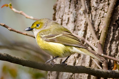 White-eyed Vireo (tresed47) Tags: 2017 201704apr 20170410capemaybirds birds canon400mmf56l canon7d capemay content folder newjersey peterscamera petersphotos places takenby us vireo warbler whiteeyedvireo ngc