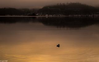 Single duck