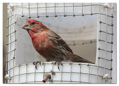 House Finch (male) (Redtail10025) Tags: birds birding nyc central park house finch housefinch feeders