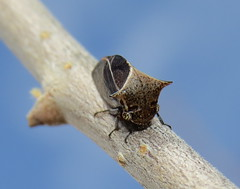 Treehopper (Bug Eric) Tags: animals wildlife nature outdoors insects bugs truebugs auchenorrhyncha hemiptera treehoppers treehopper membracidae cheyennemountainstatepark colorado frontrange rockymountains usa ceresa northamerica april152017