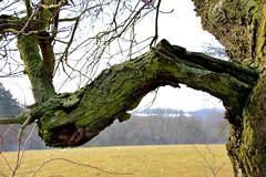 IMG_0821 (harryblume) Tags: strasenobst laubbaum obstbaum baum