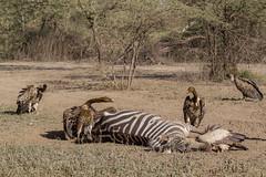 Not one step closer.... (Hector16) Tags: africa nomad safari outdoors tanzania ndutu drought wildlife serengeti arusharegion tz gypsrueppelli vulture birds