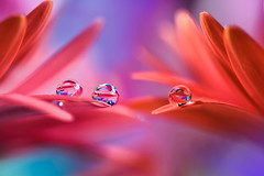 Red trio (Marilena Fattore) Tags: macro softflowers onlyflowers macrophotography canon tamron colors light water waterdrops nature closeup focus petals floralart reflection bokeh droplet red delicate softness flower garden