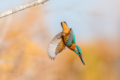 Diving Kingfisher (dave_poth) Tags: