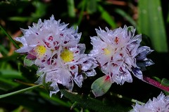 Flores silvestres (ameliapardo) Tags: parquesnaturales bolonia cádiz floressilvestres naturaleza andalucía airelibre fujixt1