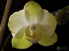 Primera Orquidea del año (J.Gargallo) Tags: orquidea phalaenopsis orchid flor flores flower flowers macro macrofotografía planta amarillo tokina tokina100mmf28atxprod canon canon450d eos eos450d 450d indoor